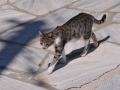 Mačka domáca, Arnados, Tinos