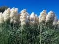 Arta - nádherné pampové trávy