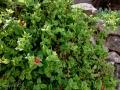 Apténia srdcovolistá (Aptenia kordifolia)