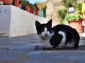Tinos - dediny, mačka ktikadoská