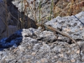 Jašterička medzi ruinami Megalopoli