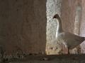 Zatúlaná húska - Milopotamos,  Kythira