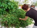 Aptenia cordifolia - apténia